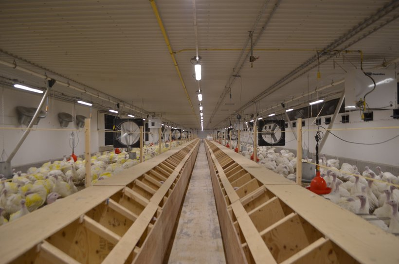 led lighting for breeders what to consider poultry producer